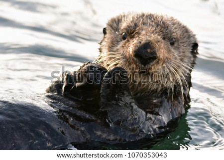 A sea otter looks at the camera while floating in the Seward, Alaska, harbor.