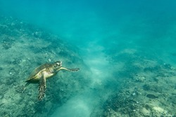 A sea turtle swims up from the reef and ocean floor