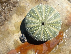 A sea urchin shell on a rustic weathered rock background.