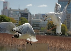 A seagull chases away another bird to perch on a wooden pole. Behavior of flying animals.