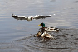 A seagull flies over the swimming wild ducks pair on the water at spring day, European waterfowl birds