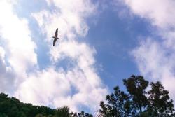 A seagull flies over the trees against a cloudy sky. Sea bird.