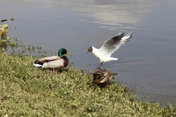 A seagull flies to the wild ducks pair on the green grass shore at spring day, European waterfowl birds