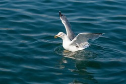 A seagull in the salty waters of the Aegean Sea