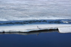 A seagull is standing on a large melting ice floe in a calm pond, reflection in bright blue water, ice texture, cold water, sunny day, bright sun, nature, ice melting season, bird on ice, spring