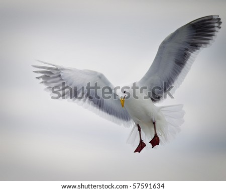 A seagull soars off the coast of Homer Alaska