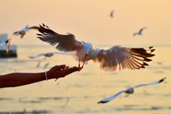 A​ seagull​ spreading wings flying​ to​ eat​ crackling from​ a​ man​ hand​ feeding​ with​ other​ seagulls​ in​ background​