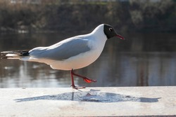 a seagull standing on its foot. A city gull