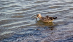 A seagull swims in the water on the Baltic Sea coast. The bird has something in its beak.