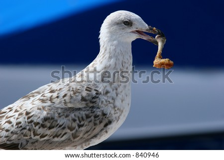 A seagull with a chicken leg in its mouth.
