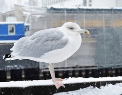 A seagull with a frozen beak is observed waiting patiently to prey on a fish in the nearby canal on a chilly winter morning. Spotted in Riga, Latvia.