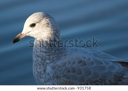A seagull with late day sunlight on its head.