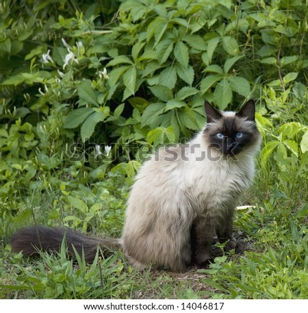 A Seal Point cat portrait in lush surroundings