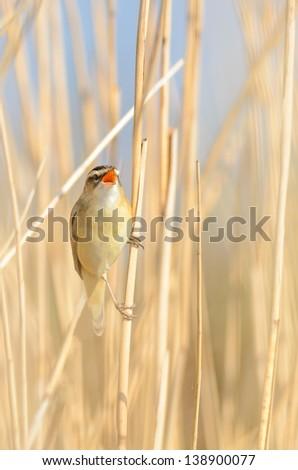 A Sedge Warbler (Acrocephalus schoenobaenus) singing in the reed.