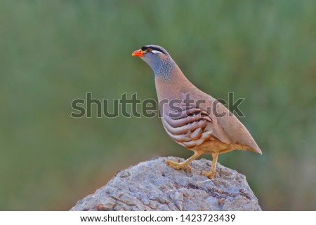 a See-see partridge perched on a rock