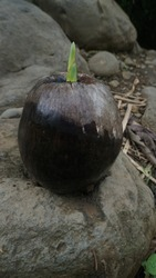 A seed of a coconut or palm  tree growing