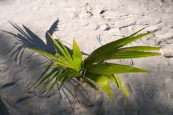 A seedling of a coconut tree