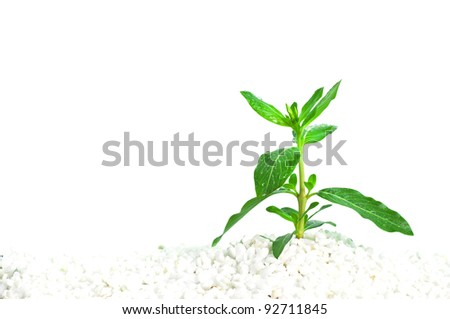 A seedling with droplets of water on leaves in white soil.  Genus: Vinca