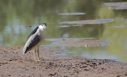 A seemingly frustrated and upset Black-Crown Night Heron stands on a muddy mound where water use to be...I'm a wading bird, I need water to wade in!