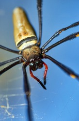 A selective-focus macro image of a female Nephila pilipes (northern golden orb weaver or giant golden orb weaver) - a species of golden orb-web spider - hanging in it's web in the sunlight; blue sky.