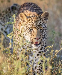 A selective focus of a powerful and vicious leopard with yellow beautiful eyes in the wild