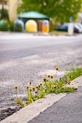 A selective focus of yellow wildflowers growing between uneven uneven