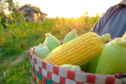 A selective focus picture of corn cob in a basket at organic corn field.
