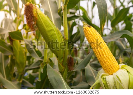 A selective focus picture of corn cob in organic corn field