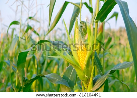 A selective focus picture of corn cob in organic corn field.  #616104491