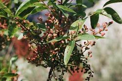 A selective focus shot of a blunt-leaved pistachio plant