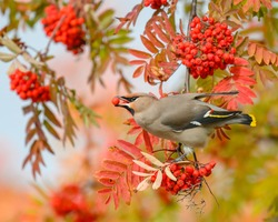 A selective focus shot of a Bohemian Waxwing bird feeding on Rowan tree berries