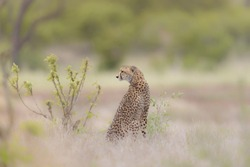 A selective focus shot of a cheetah sitting in a dry grassy field