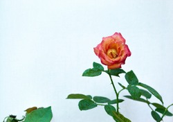 A selective focus shot of a dew-covered red rose by a whitebackground