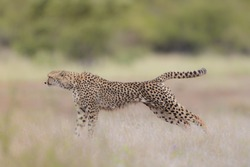 A selective focus shot of a leopard in a running position ready to hunt