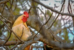 A selective focus shot of a rooster perched on a tree branch
