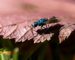 A selective focus shot of a ruby-tailed wasp on a plant leaf