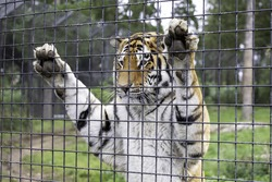 A selective focus shot of a tiger standing and leaning against the fence of its cage inside a zoo