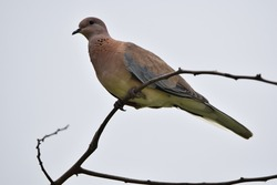 A selective focus shot of a turtledove perched on a branch