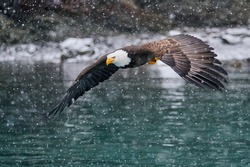 A selective focus shot of American bald eagle in flight over the lake