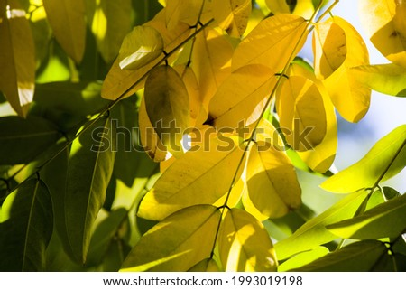 A selective focus shot of autumn yellow and green leaves growing on the tree