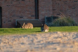 A selective focus shot of cute rabbits on a green grass in Norderney, Germany