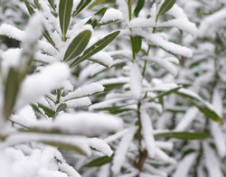 A selective focus shot of gree covered with snow