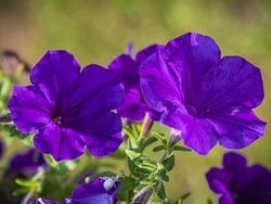 A selective focus shot of purple petunias