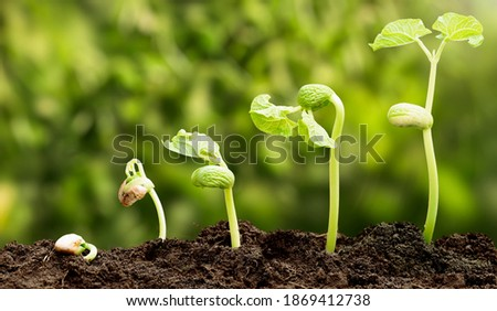 A sequence of Seedlings Growing Progressively Taller Into The Dirt with unfocused background. Foto stock ©