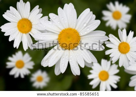 A series of perfect daisies, still wet with morning dew