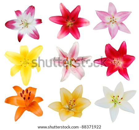 A set of colorful lily blooms