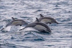 A set of common dolphins jump out of the water in the Ocean