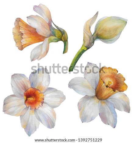 A set of flowers. Set of flowers narcissus. Watercolor flowers Narcissus on a white background. Hand draw watercolor illustration. Floral Design elements.