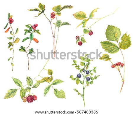 A set of forest berries: raspberry, stone bramble, cowberry, blueberry - realistic watercolor painting. Isolated on white background.