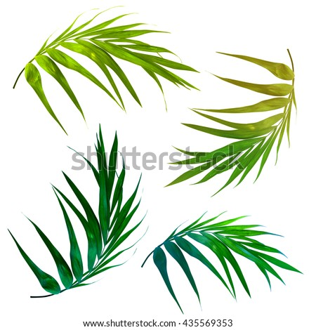 a set of four tropical palm leaves isolated on white. Beautiful shapes of exotic leaves in an elegant curves. Bright green palm leaves, seperated graphic design elements.